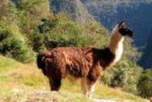 Lovely Alpacas / Alpaca woll the authentic inca´s treasure!
