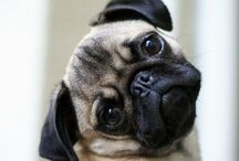 Pugs & other critters! / Dedicated mostly to adorable pugs with room for a few other cute and adorable creatures!
