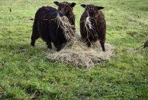 Animals / Cute sheep and beautiful sheep..