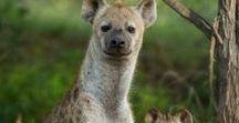Sırtlan (Hyena)