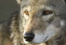 red wolves / wolves and saving them