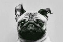 pug / mops