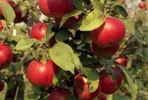 LD_ПЛОДОВЫЙ САД / Вдохновляющие идеи по организации планового сада, подбор плодово-ягодных растений, а также инструкции по уходу за ними