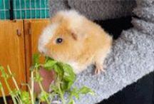 Guinea Pig Behavior / Learn about guinea pig behavior. What is a guinea pig's behavior?