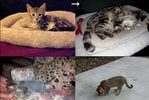 "My Bengal Cats, ""Nero"" and ""Khufu"" / Nero was born on December 6th, 2011.