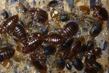Bed Bug Control in Rhode Island / What are Bed Bugs? – What do Bed Bugs look like? –  What do Bed Bug Bites look like? – What are the signs of me having Bed Bugs? – What do Bed Bug Bites look like? –  How did I get Bed Bugs? – How can I Rid my house of Bed Bugs? – Bed Bug Control Tips for your home. - Bed Bugs in Rhode Island