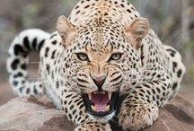 tigers, lions, cubs, cheetahs, leopards, panthas / This is a shared board, please only add pictures that relate to the title!!!