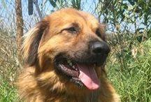 Belchior / BELCHIOR, Serra da Estrela com 16 meses, meiguice proporcional ao tamanho, perdeu a sua família e a sua casa e por isso aguardar ansioso por uma nova oportunidade...Quem quiser dar um lar a este cachorrão não hesite em contactar a UPPA: uppa.adoptantes@gmail.com