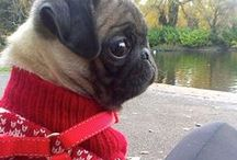 pugs / all about my favourite dog Cheer to the pugas!!!