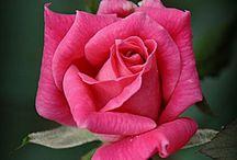 Flowers   ( Roses )
