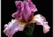 Flowers   ( Iris )