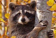 Animals   ( Raccoons )