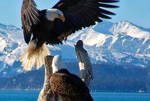 Birds   ( Eagles )
