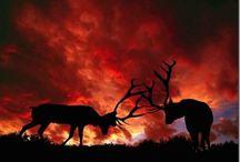 Animals   ( Elk )