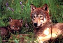 Animals   ( Wolves )