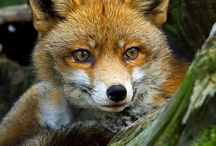 Animals   ( Fox )