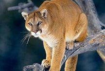 Animals   ( Wild cats )