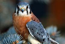 Birds   ( Kestrel,hawk and osprey and falcons )