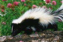 Animals   ( Skunks )