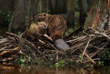 Animals   ( Beaver )