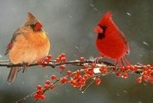 Birds   ( Cardinals )