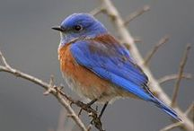 Birds   ( Blue birds )