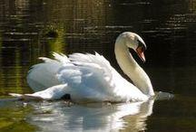 Birds   ( Swans )