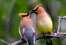 Birds   ( Cedar waxwings )