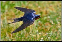 Birds   ( swallows )