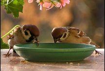 Birds   ( Sparrows )