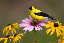 Birds   ( Finch )