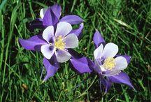 Flowers   ( Columbine )