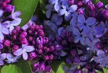 Flowers   ( Lilacs )