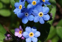 Flowers   ( Forget-me-nots )