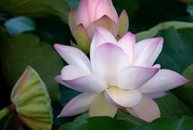 Flowers   ( Water lilly & lotus )
