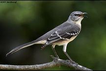 Birds   ( Mockingbird )