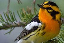 Birds   ( warblers )