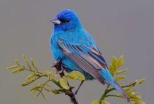 Birds   ( Buntings )