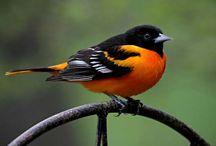 Birds   (  Orioles )