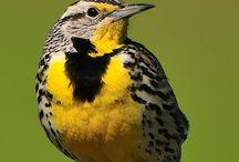 Birds   ( Meadowlarks )