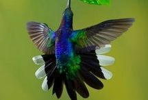 Animals: Birds: Hummingbirds / A Collection of photos of hummingbirds.  We don't get them in Australia but they are beautiful / by Kristine Bannerman