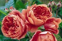 Gardening: plants (roses)