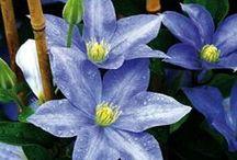 Gardening: plants (clematis)