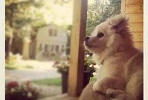 Dog / Our wee american eskimo Finn