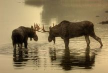Mighty Moose / by Sheri Campbell