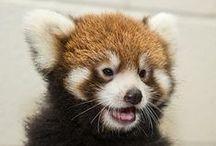 Red Pandas! / by Stacia Seaman