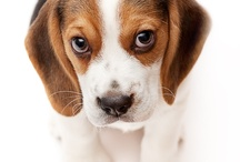 Sweet Beagles / Portraits of beagles, sweet baby animals and mature dogs