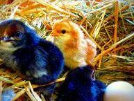 Hühner im Garten / Über Hühnerhaltung im eigenen Kleingarten.