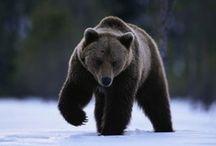 bear/ ayı