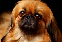 Pekingese / LOVE  :  ) / My fav, love, love, love, love, love,love,love.   Val / by Val Lou